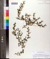 Sesuvium maritimum herbarium specimen from Saint Marks National Wildlife Refuge, Wakulla County in 2012 by Prof. Loran C Anderson.