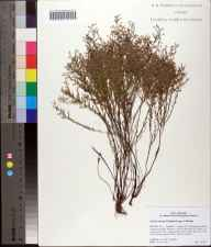 Lechea torreyi herbarium specimen from Julington-Durbin Preserve, Duval County in 2008 by Cecil R Slaughter.