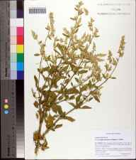 Iresine diffusa herbarium specimen from SaintJohns County in 2008 by Cecil R Slaughter.