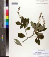 Clethra tomentosa herbarium specimen from Clarksville, Calhoun County in 2012 by Prof. Loran C Anderson.