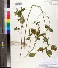 Acalypha ostryifolia herbarium specimen from Ocheesee Landing Rd, Calhoun County in 2012 by Prof. Loran C Anderson.