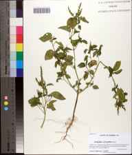 Acalypha ostryifolia herbarium specimen from Bristol, Liberty County in 2012 by Prof. Loran C Anderson.