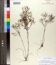 Lechea torreyi herbarium specimen from Cape St. George Island, Franklin County in 1985 by Prof. Loran C Anderson.