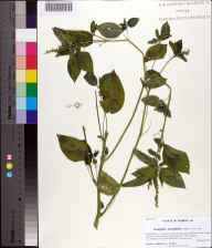 Acalypha ostryifolia herbarium specimen from Hammock Creek, Gadsden County in 2013 by Prof. Loran C Anderson.