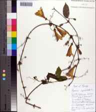 Bignonia capreolata herbarium specimen from Tallahassee, Leon County in 2013 by Chris Buddenhagen.
