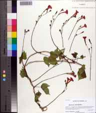 Ipomoea hederifolia herbarium specimen from Apalachicola National Forest, Liberty County in 2013 by Prof. Loran C Anderson.