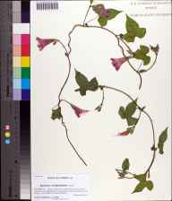 Ipomoea cordatotriloba herbarium specimen from Jefferson County in 2013 by Prof. Loran C Anderson.