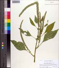 Amaranthus palmeri herbarium specimen from Marianna Army Air Field, Jackson County in 2013 by Prof. Loran C Anderson.