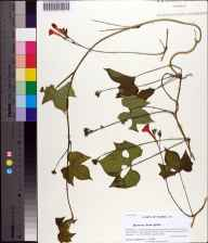 Ipomoea hederifolia herbarium specimen from Marianna, Jackson County in 2013 by Prof. Loran C Anderson.