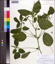 Acalypha ostryifolia herbarium specimen from Waukeenah, Jefferson County in 2013 by Prof. Loran C Anderson.