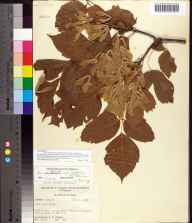 Acer negundo herbarium specimen from Newport, Taylor County in 1955 by Robert K Godfrey.