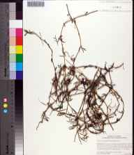 Sesuvium maritimum herbarium specimen from Lake George Conservation Area, Volusia County in 2005 by Cecil R Slaughter.