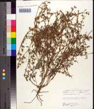 Sesuvium maritimum herbarium specimen from Cudjoe Key, Monroe County in 1972 by Robert K Godfrey.