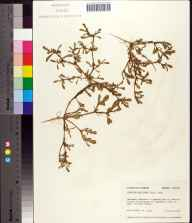 Sesuvium maritimum herbarium specimen from St. Marks Wilderness, Wakulla County in 1976 by Robert K Godfrey.