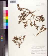 Sesuvium maritimum herbarium specimen from Econfina River, Taylor County in 1977 by Robert K Godfrey.