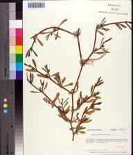 Sesuvium portulacastrum herbarium specimen from Dog Island, Franklin County in 1981 by Prof. Loran C Anderson.