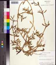 Sesuvium portulacastrum herbarium specimen from Siesta Key, Sarasota County in 1997 by Mary E Nolan.