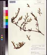 Sesuvium portulacastrum herbarium specimen from Alligator Point, Franklin County in 1975 by G.B. Marshall.