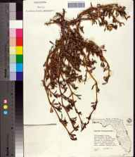 Sesuvium portulacastrum herbarium specimen from Tampa, Hillsborough County in 1962 by Olga Lakela.