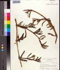 Sesuvium portulacastrum herbarium specimen from Everglades National Park, Flamingo, Monroe County in 1964 by Robert K Godfrey.