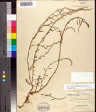 Amaranthus australis herbarium specimen from Cape Canaveral, Brevard County in 1896 by Allen Hiram Curtiss.