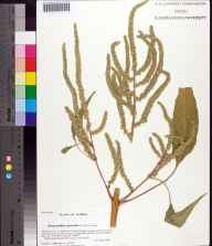 Amaranthus australis herbarium specimen from Saint Marks National Wildlife Refuge, Wakulla County in 2006 by Prof. Loran C Anderson.