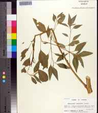 Amaranthus australis herbarium specimen from Saint Marys River, Nassau County in 1999 by Prof. Loran C Anderson.