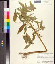 Amaranthus australis herbarium specimen from Saint Vincent Island, Franklin County in 1975 by S.W. Leonard.