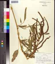 Amaranthus australis herbarium specimen from Lanark Village, Franklin County in 1976 by Robert K Godfrey.