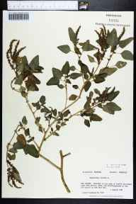 Amaranthus viridis herbarium specimen from Dog Island, Franklin County in 1981 by Prof. Loran C Anderson.