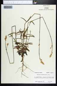 Froelichia floridana herbarium specimen from Saint Vincent Island, Franklin County in 1985 by Prof. Loran C Anderson.