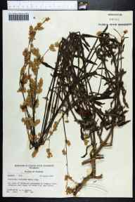 Froelichia floridana herbarium specimen from Lake Alfred, Polk County in 1971 by Robert K Godfrey.