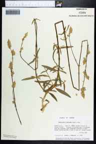 Froelichia floridana herbarium specimen from Sand Island, Franklin County in 1986 by Prof. Loran C Anderson.