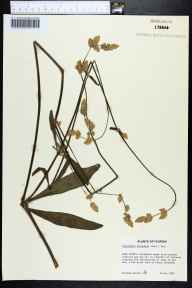Froelichia floridana herbarium specimen from Mount Plymouth, Lake County in 1980 by Richard Carter.