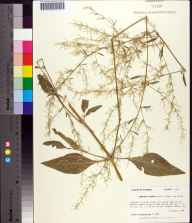 Iresine diffusa herbarium specimen from Gulf Hammock, Levy County in 1989 by Prof. Loran C Anderson.