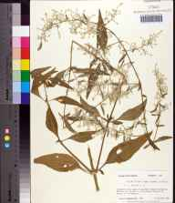 Iresine diffusa herbarium specimen from Tallahassee, Leon County in 1985 by Prof. Loran C Anderson.