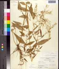 Iresine celosia herbarium specimen from Tallahassee, Leon County in 1955 by Robert K Godfrey.