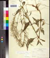 Iresine diffusa herbarium specimen from Torreya State Park, Liberty County in 1955 by Robert Kral.