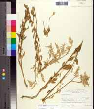 Iresine diffusa herbarium specimen from Fort De Soto Park, Pinellas County in 1976 by Robert F Thorne.
