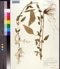 Iresine diffusa herbarium specimen from Gainesville, Alachua County in 1978 by Daniel B Ward.