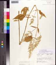 Iresine diffusa herbarium specimen from Apalachicola River, Jackson County in 1976 by Angus Gholson.