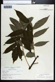 Rhus glabra herbarium specimen from Blue Spring, Jackson County in 1970 by Robert K Godfrey.