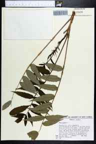 Rhus glabra herbarium specimen from Pensacola, Escambia County in 1984 by James R Burkhalter.