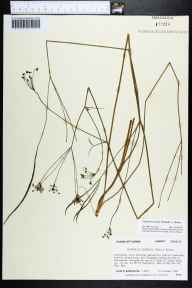Oxypolis ternata herbarium specimen from Eastpoint, Franklin County in 1987 by Prof. Loran C Anderson.