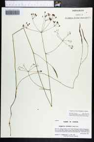 Oxypolis ternata herbarium specimen from Point Washington Wildlife Management Area, Bay County in 2001 by Prof. Loran C Anderson.