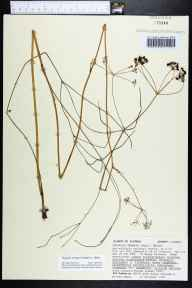 Oxypolis ternata herbarium specimen from Apalachicola National Forest, Liberty County in 1987 by Angus Gholson.
