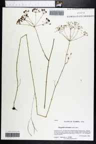 Oxypolis ternata herbarium specimen from Saint Marks National Wildlife Refuge (Panacea Unit), Wakulla County in 2008 by Prof. Loran C Anderson.