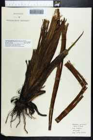 Tiedemannia filiformis subsp. greenmannii herbarium specimen from Gulf County by Robert K Godfrey.