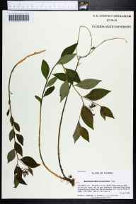 Amsonia tabernaemontana herbarium specimen from Altha, Calhoun County in 2006 by Prof. Loran C Anderson.