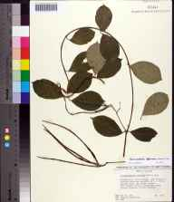 Thyrsanthella difformis herbarium specimen from Byrneville, Escambia County in 1983 by James R Burkhalter.